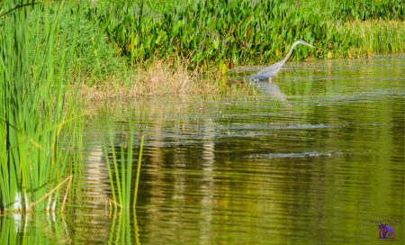 picture of Seminole Lake in Seminole Florida with water, tall grass, and a blue heron